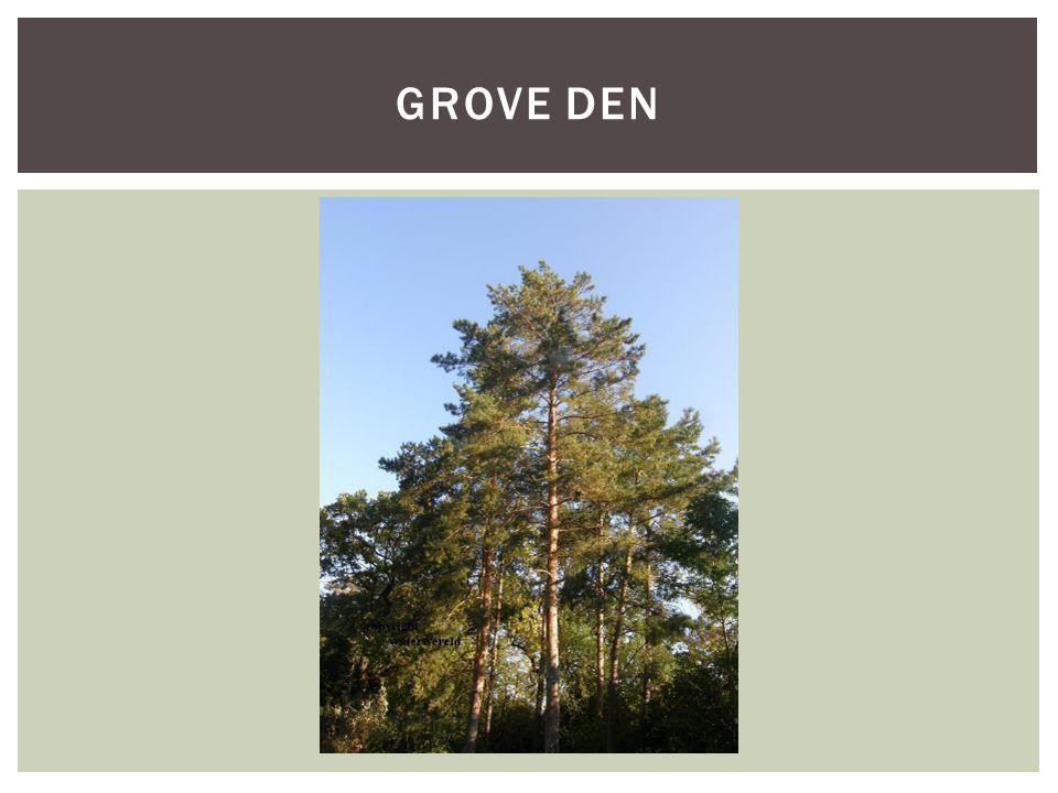 SoortgroepBomen en struiken Hoofd-biotoopbossen Uiterlijke kenmerken- Behoort tot de naaldbomen - Wordt 10 – 40 meter groot - Vruchten zijn kegels van 3-6cm hangend aan een twijg - 3-6cm lange naalden, altijd met twee bij elkaar - Grove grijsbruine schors, bovenzijde stam oranjebruin - Groeit in een doorlatende droge grond Extra foto's KENMERKEN GROVE DEN