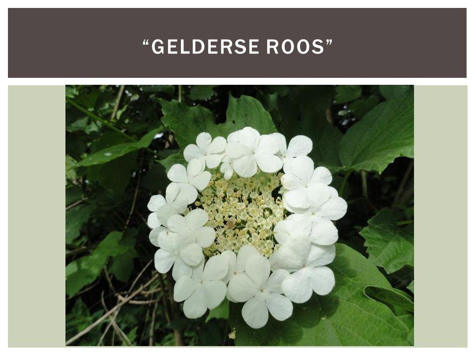 """""""GELDERSE ROOS"""""""