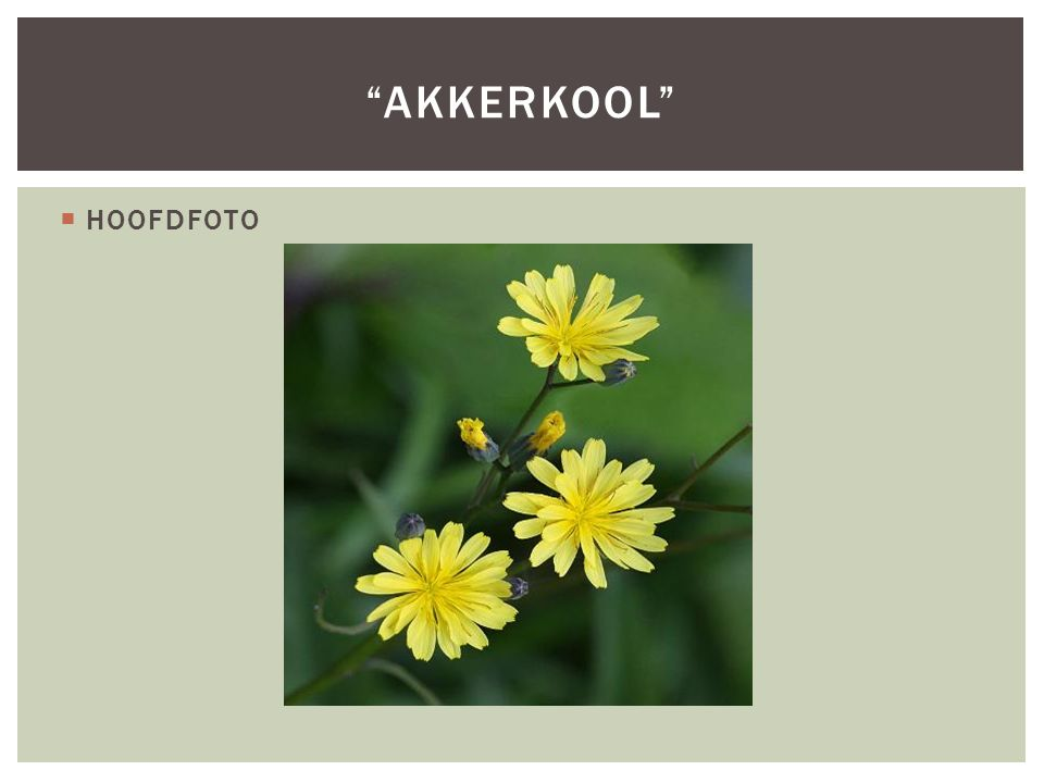 """ HOOFDFOTO """"AKKERKOOL"""""""