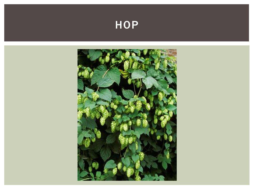 Soortgroepplanten Hoofd-biotoopBossen Uiterlijke kenmerkenHulst is een vetplant met getande bladeren.