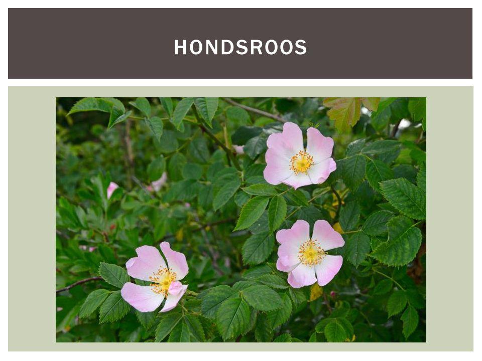 SoortgroepPlanten Hoofd-biotoopBossen Uiterlijke kenmerken- Behoort tot de roosachtigen, wordt 1 tot 3 meter hoog - De bladeren en takken zijn groen en soms roodachtig aangelopen, de stekels zijn haakvormig gebogen - De hondsroos bloeit in juni en juli met 4-6 cm grote, witte of roze bloemen.