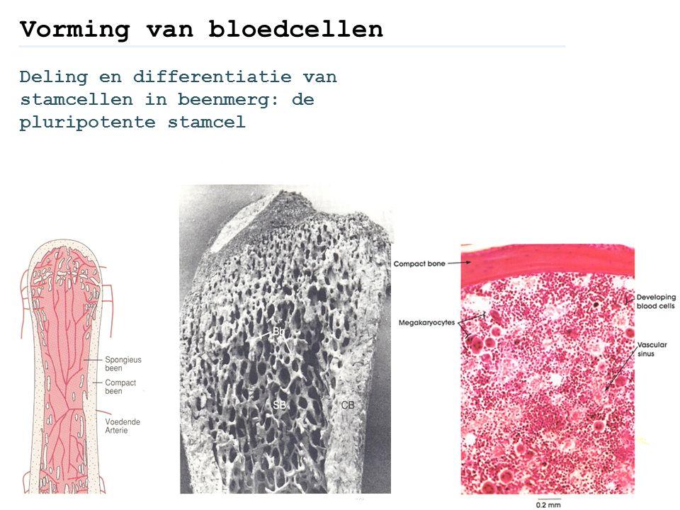 Vorming van bloedcellen Deling en differentiatie van stamcellen in beenmerg: de pluripotente stamcel