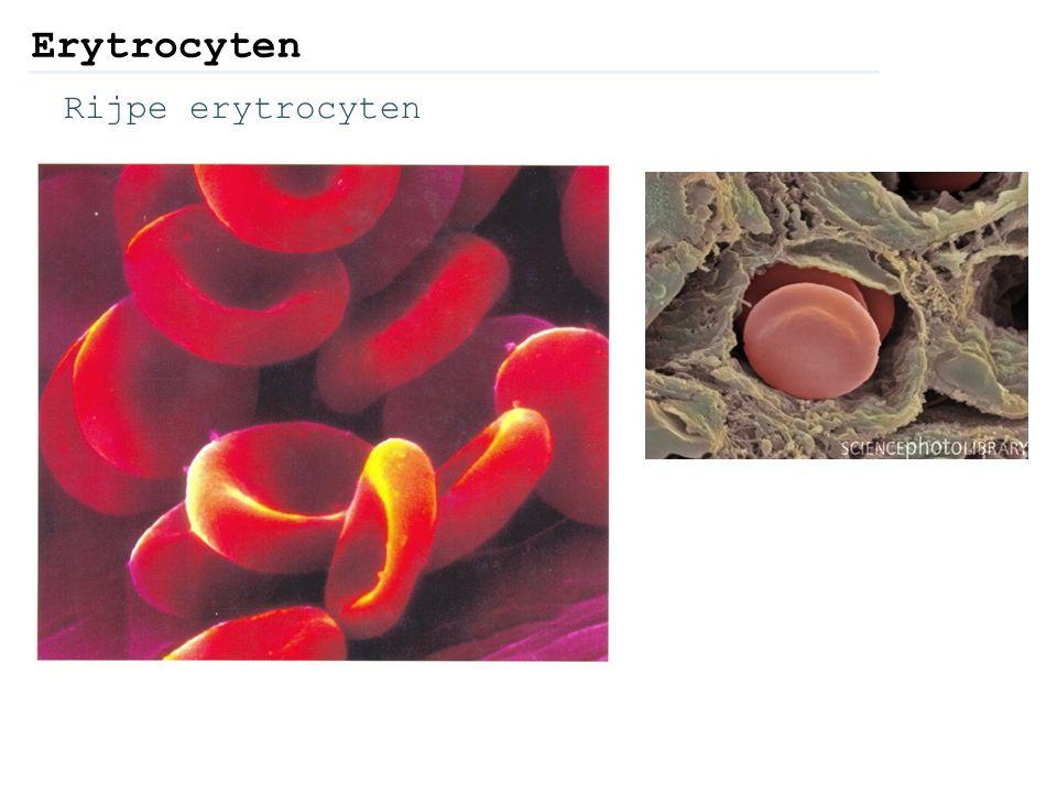 Rijpe erytrocyten Erytrocyten