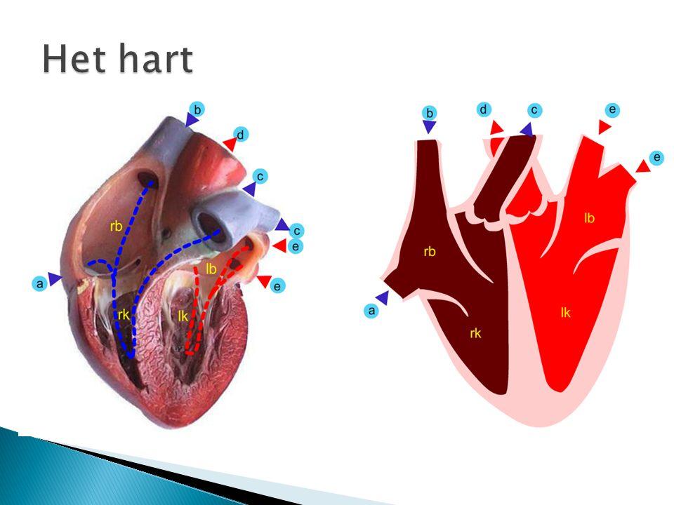  een linker harthelft en een rechterharthelft. gescheiden door een harttussenwand.