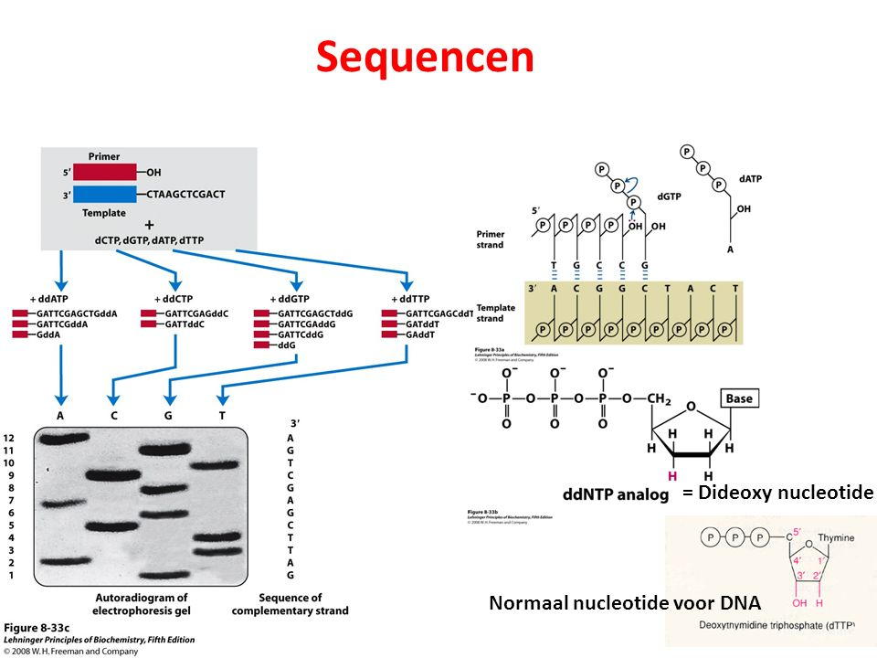 Sequencen Normaal nucleotide voor DNA = Dideoxy nucleotide