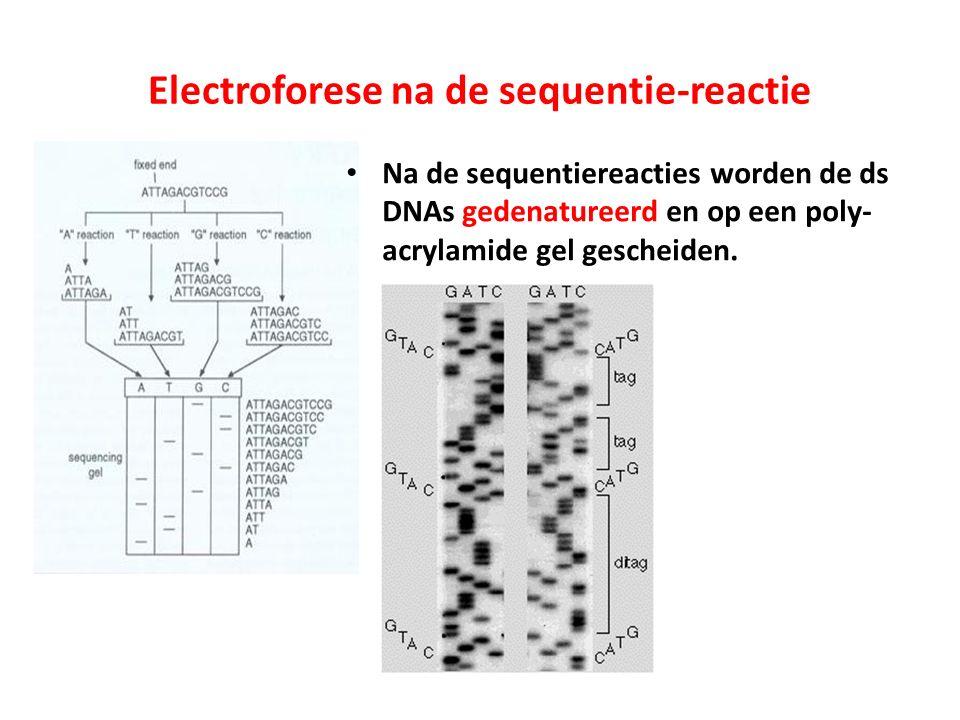 Electroforese na de sequentie-reactie Na de sequentiereacties worden de ds DNAs gedenatureerd en op een poly- acrylamide gel gescheiden.