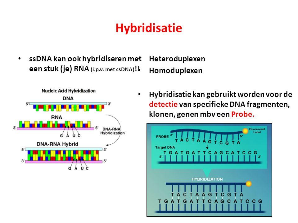 Hybridisatie ssDNA kan ook hybridiseren met een stuk (je) RNA (i.p.v. met ssDNA) !! Heteroduplexen Homoduplexen Hybridisatie kan gebruikt worden voor