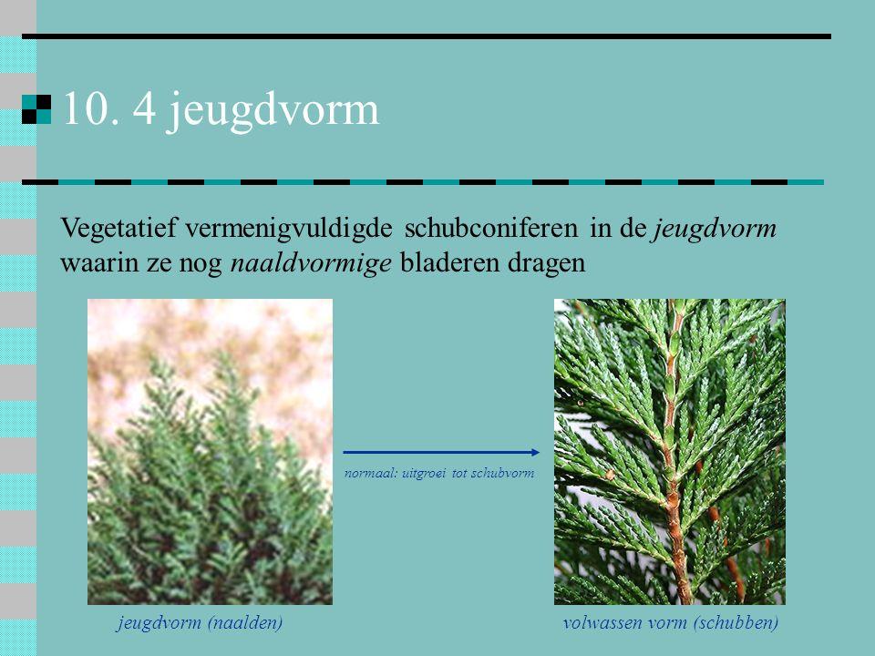 10. 4 jeugdvorm Vegetatief vermenigvuldigde schubconiferen in de jeugdvorm waarin ze nog naaldvormige bladeren dragen jeugdvorm (naalden) volwassen vo