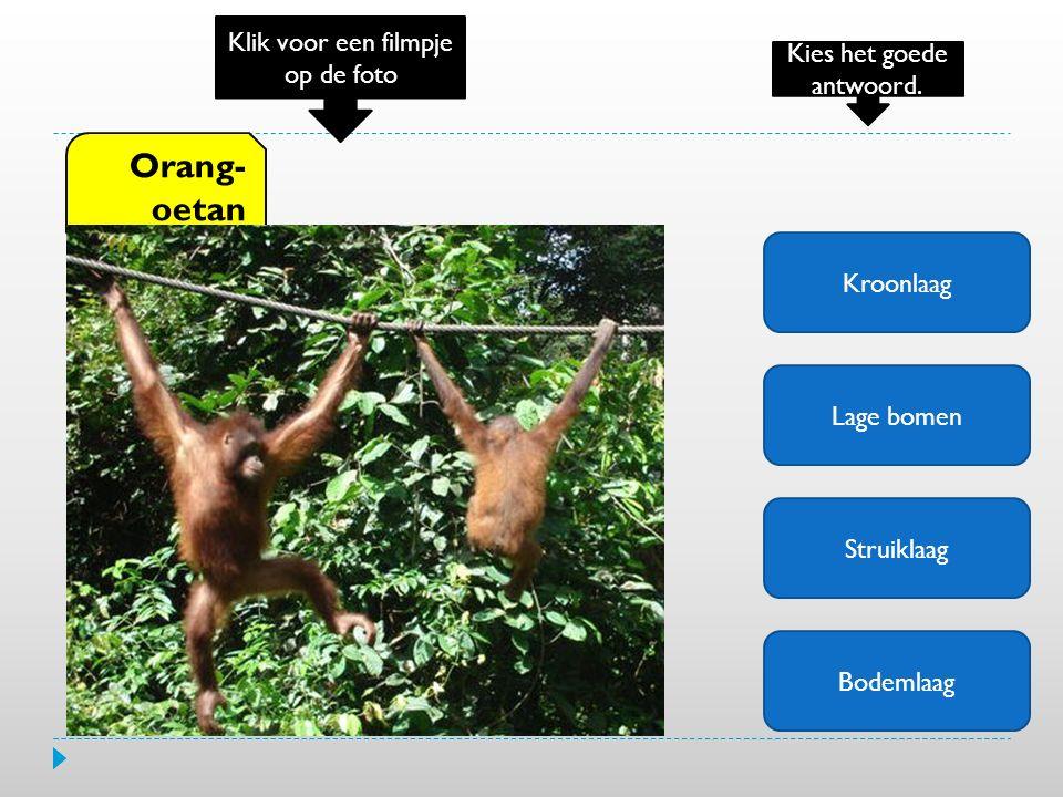 Kroonlaag Lage bomen Struiklaag Bodemlaag Orang- oetan Klik voor een filmpje op de foto Kies het goede antwoord.
