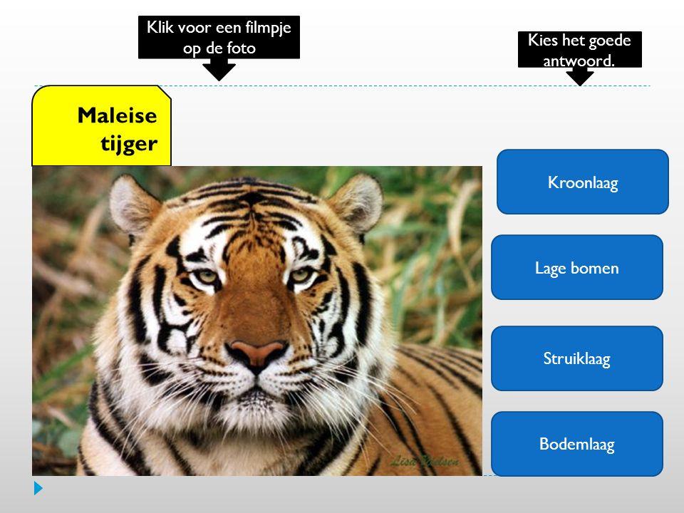 Kroonlaag Lage bomen Struiklaag Bodemlaag Maleise tijger Klik voor een filmpje op de foto Kies het goede antwoord.