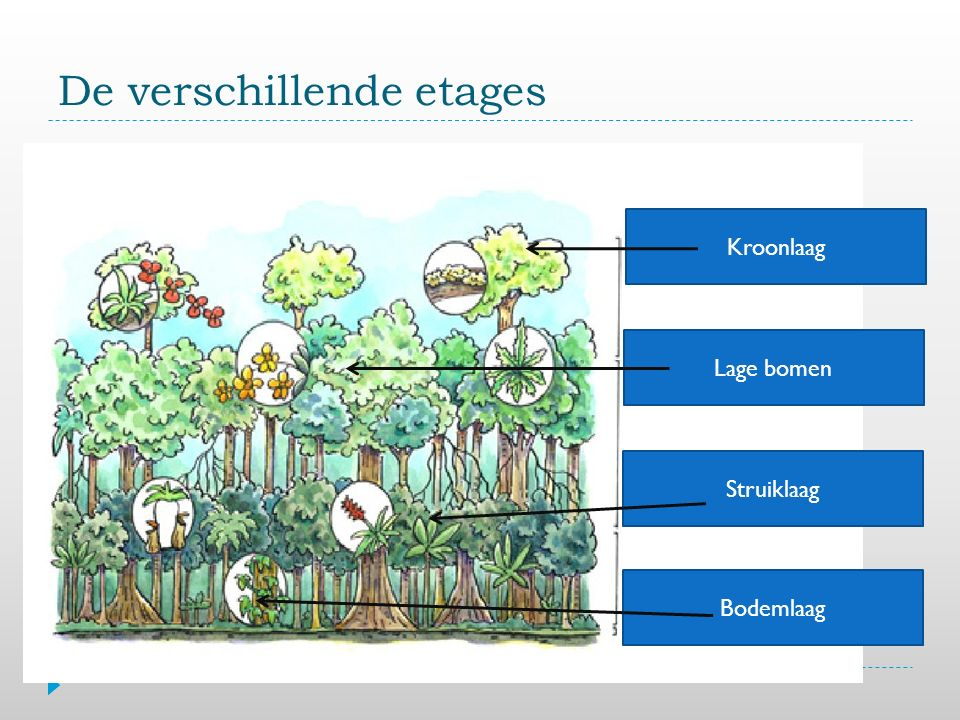 De verschillende etages Bodemlaag Struiklaag Kroonlaag Lage bomen