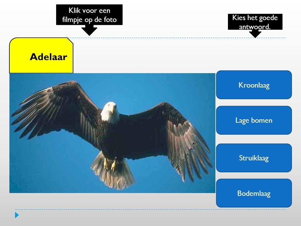 Kroonlaag Lage bomen Struiklaag Bodemlaag Adelaar Klik voor een filmpje op de foto Kies het goede antwoord.