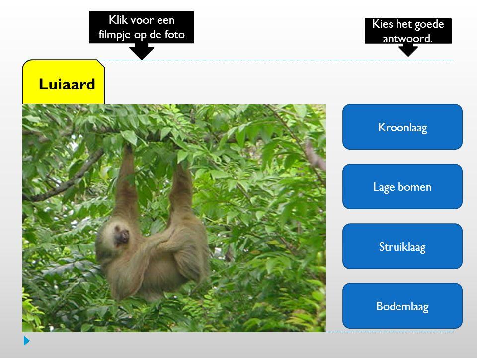 Kroonlaag Lage bomen Struiklaag Bodemlaag Luiaard Klik voor een filmpje op de foto Kies het goede antwoord.