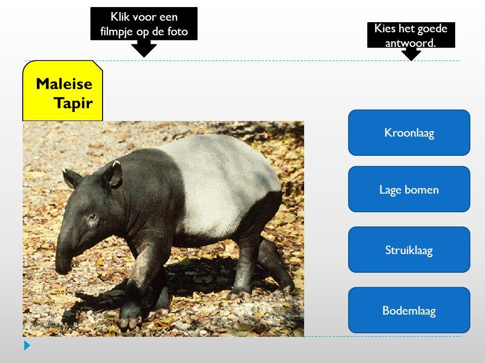 Kroonlaag Lage bomen Struiklaag Bodemlaag Maleise Tapir Klik voor een filmpje op de foto Kies het goede antwoord.