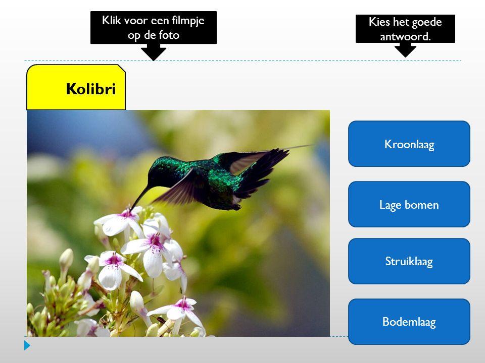 Kroonlaag Lage bomen Struiklaag Bodemlaag Kolibri Klik voor een filmpje op de foto Kies het goede antwoord.