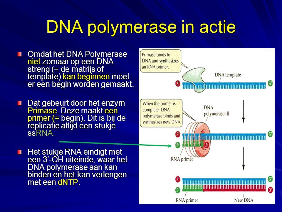 DNA polymerase in actie Omdat het DNA Polymerase niet zomaar op een DNA streng (= de matrijs of template) kan beginnen moet er een begin worden gemaak
