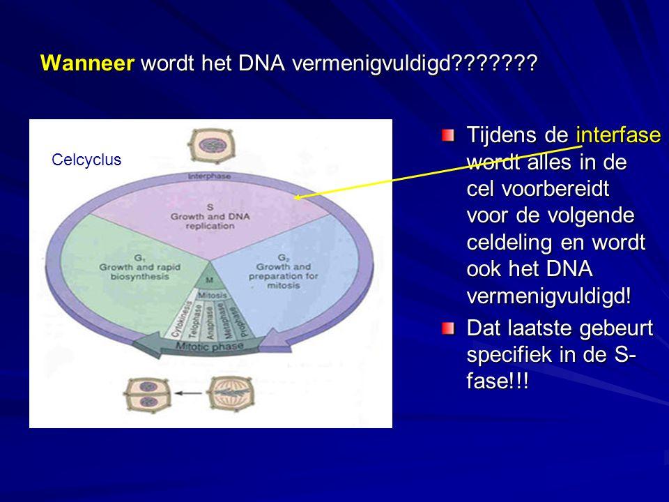 Wanneer wordt het DNA vermenigvuldigd??????? Tijdens de interfase wordt alles in de cel voorbereidt voor de volgende celdeling en wordt ook het DNA ve