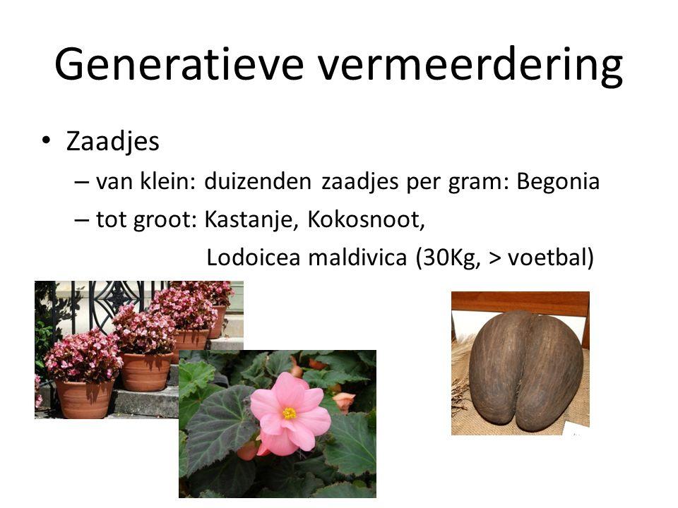 Zaadjes – van klein: duizenden zaadjes per gram: Begonia – tot groot: Kastanje, Kokosnoot, Lodoicea maldivica (30Kg, > voetbal)