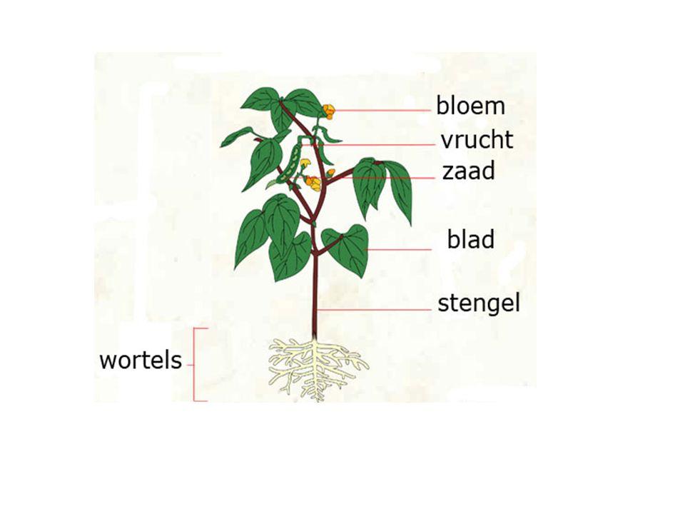 Fotosynthese / Assimilatie http://www.schooltv.nl/no_cache/video/crid/20060706_fotosynthese01/Assimilatie