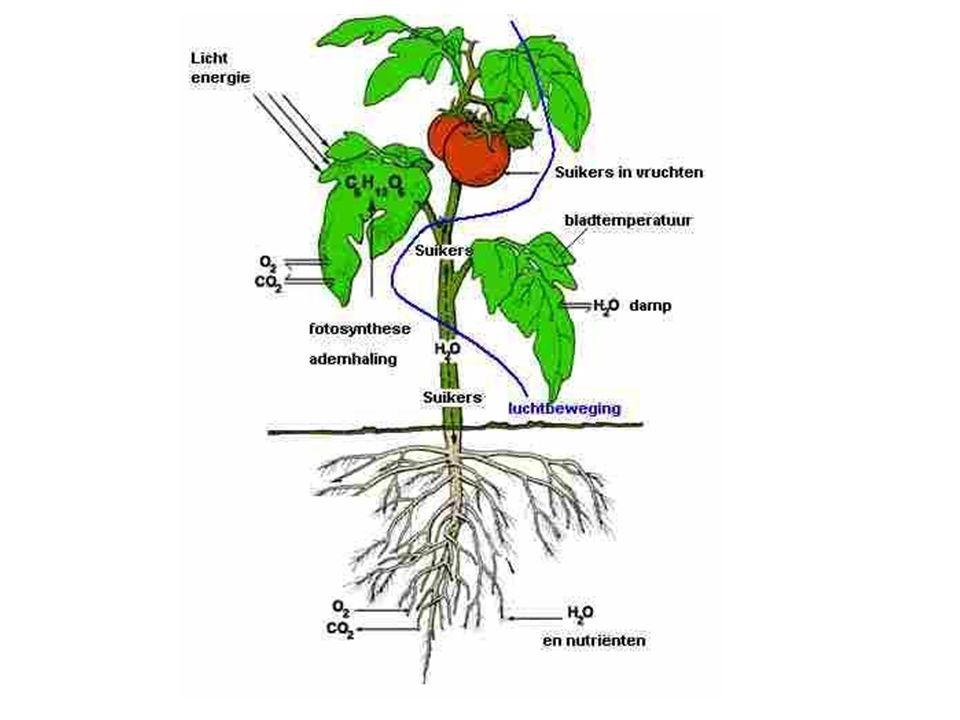 Fotosynthese Een plant maakt assimilaten oftewel reservevoedsel uit: water + kooldioxide + (zon)licht 6 H 2 O + 6 CO 2 → C 6 H 12 O 6 + 6 O 2
