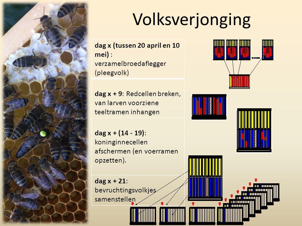 Volksverjonging dag x (tussen 20 april en 10 mei) : verzamelbroedaflegger (pleegvolk) dag x + 9: Redcellen breken, van larven voorziene teeltramen inhangen dag x + (14 - 19): koninginnecellen afschermen (en voerramen opzetten).
