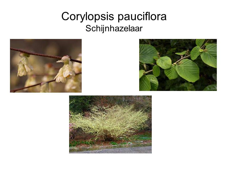 Corylopsis pauciflora Schijnhazelaar