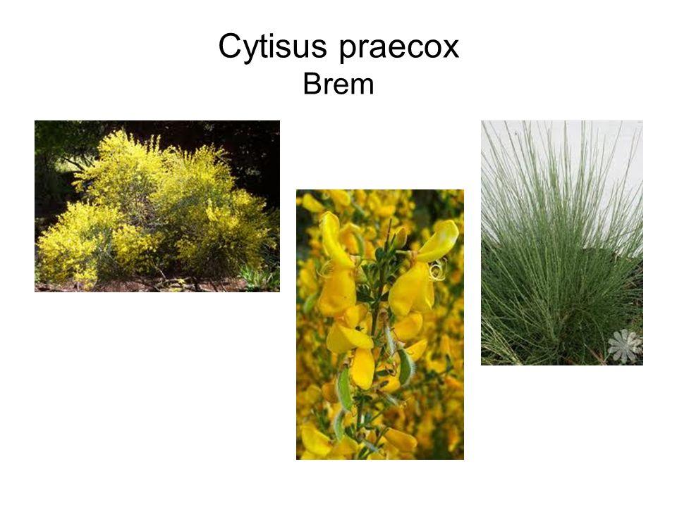 Cytisus praecox Brem