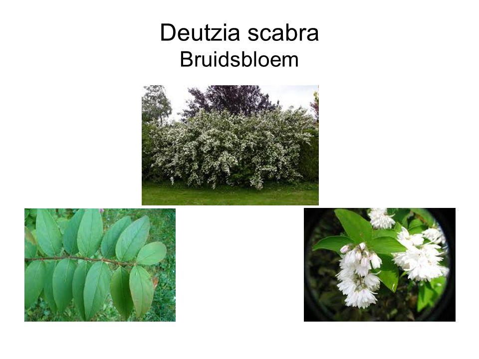 Deutzia scabra Bruidsbloem