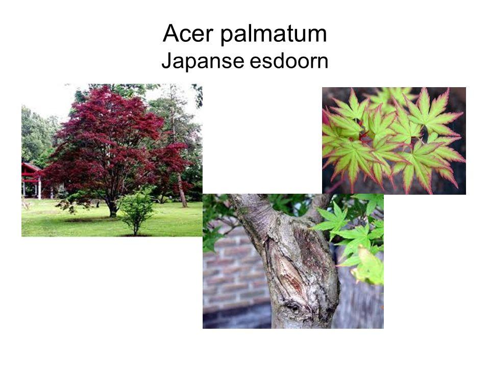 Acer palmatum Japanse esdoorn
