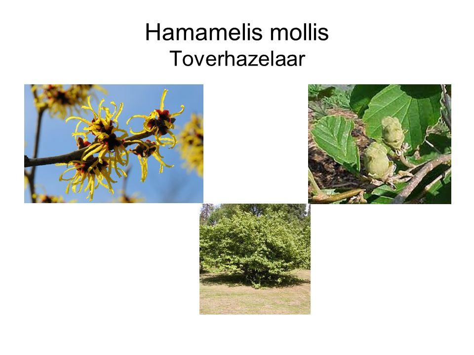 Hamamelis mollis Toverhazelaar