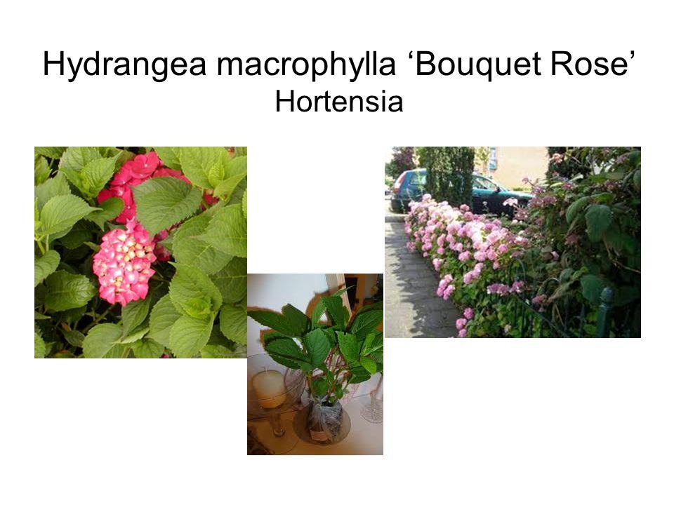 Hydrangea macrophylla 'Bouquet Rose' Hortensia