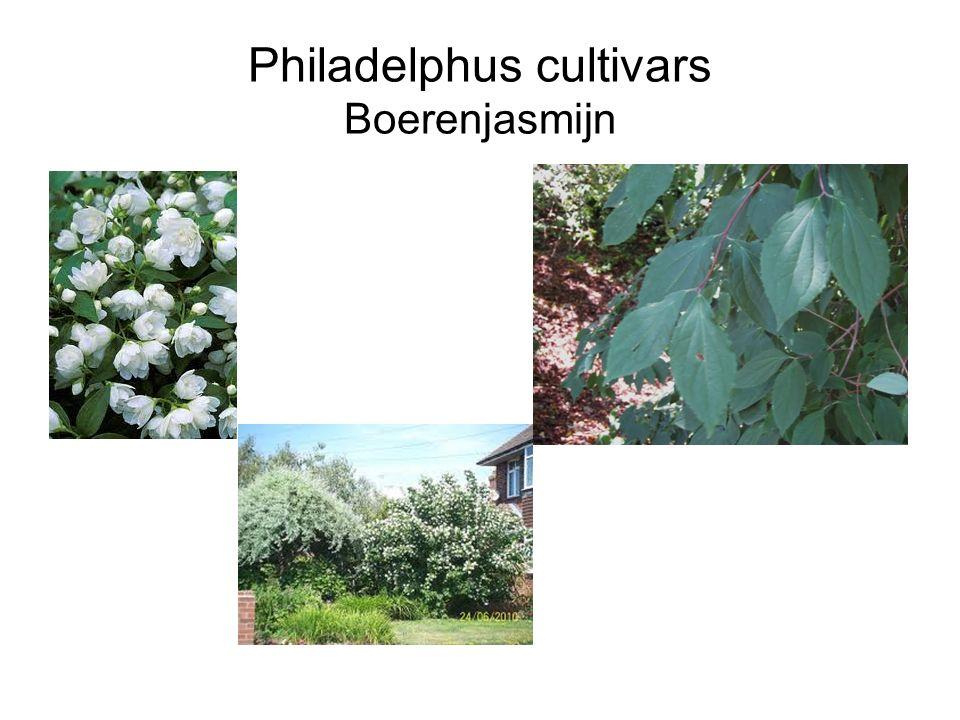 Philadelphus cultivars Boerenjasmijn