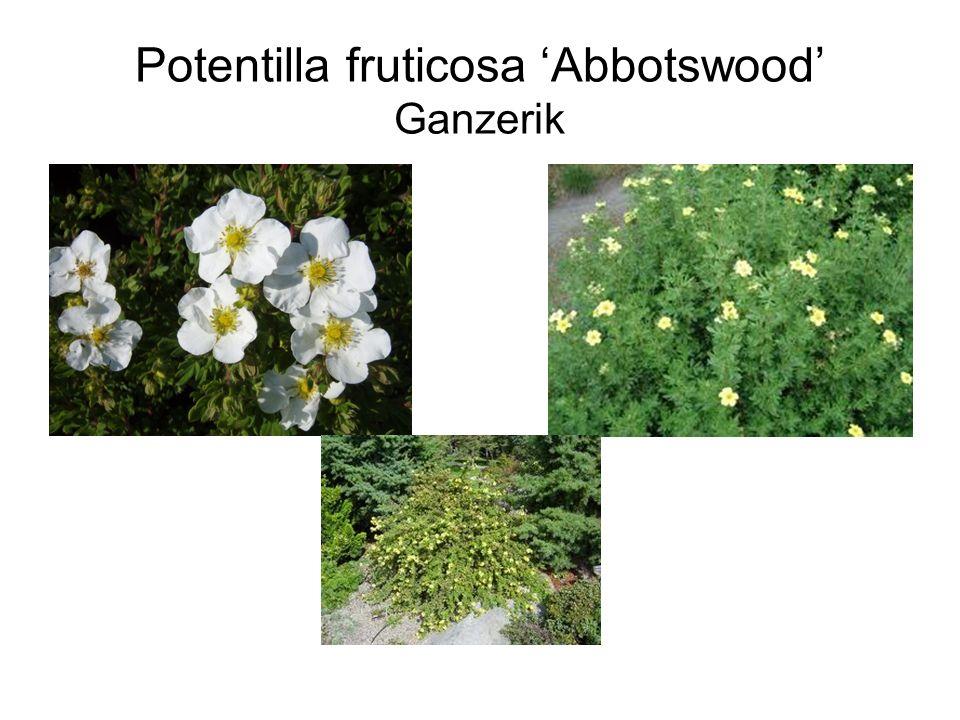 Potentilla fruticosa 'Abbotswood' Ganzerik