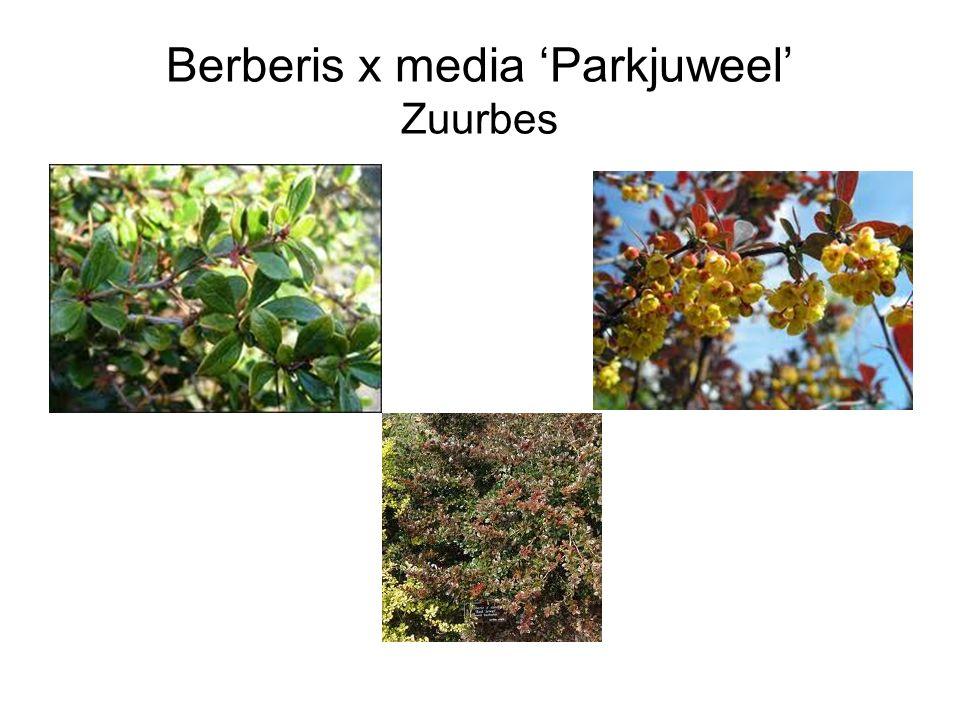 Berberis x media 'Parkjuweel' Zuurbes