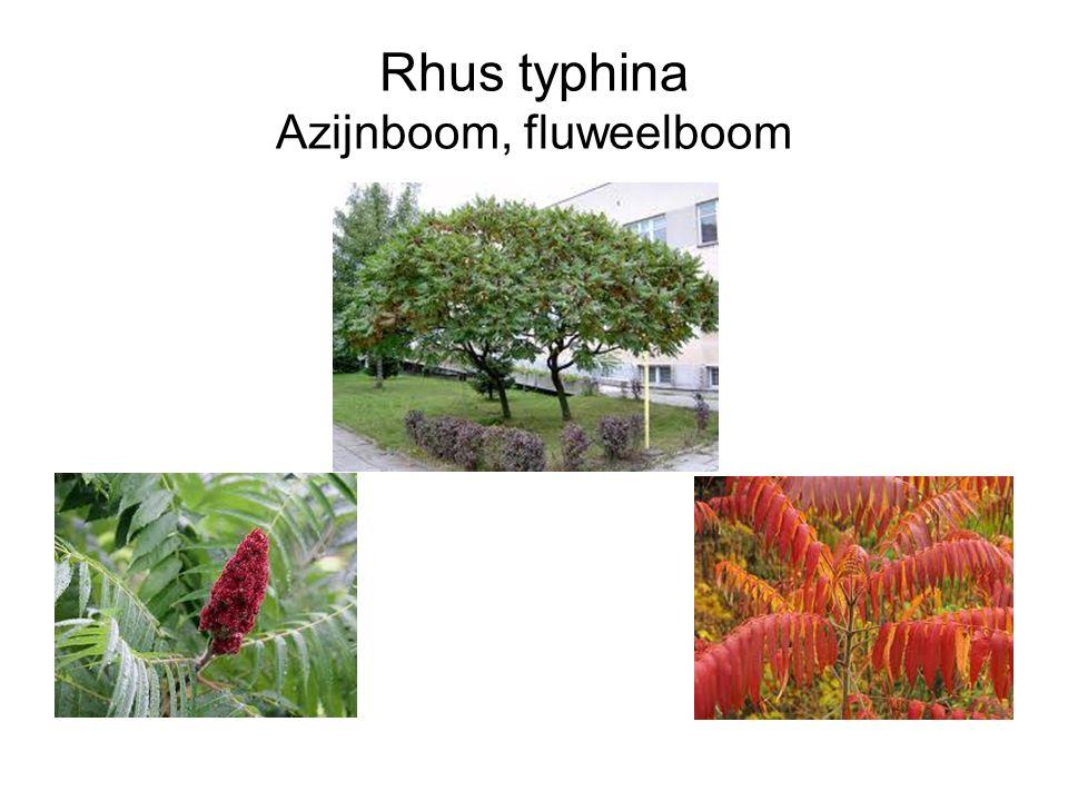 Rhus typhina Azijnboom, fluweelboom