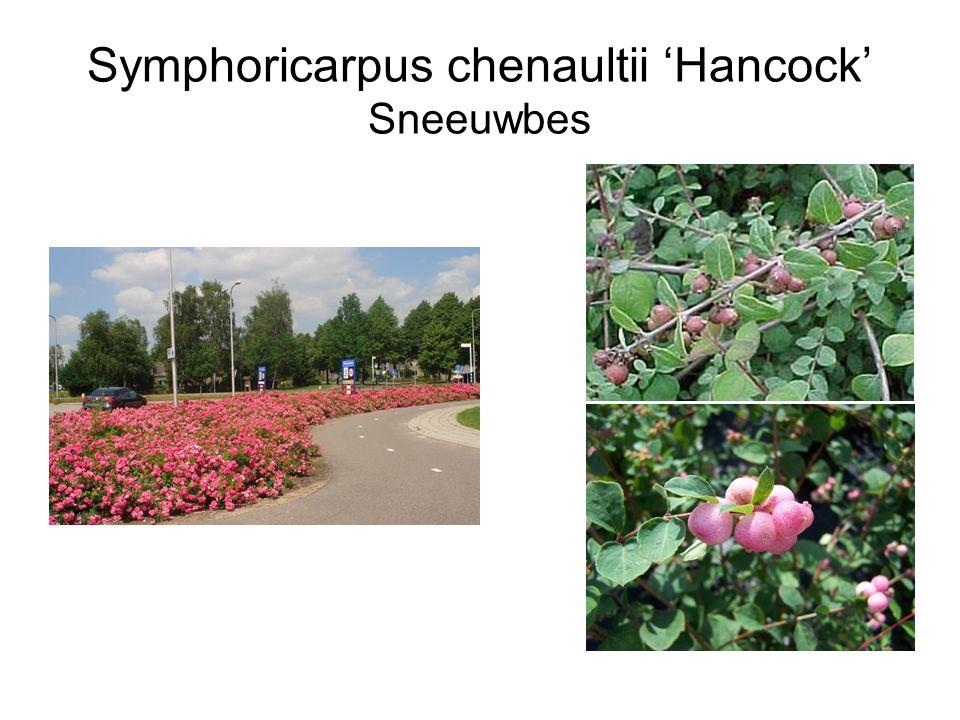Symphoricarpus chenaultii 'Hancock' Sneeuwbes