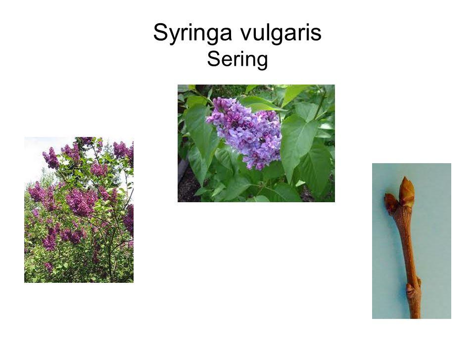 Syringa vulgaris Sering