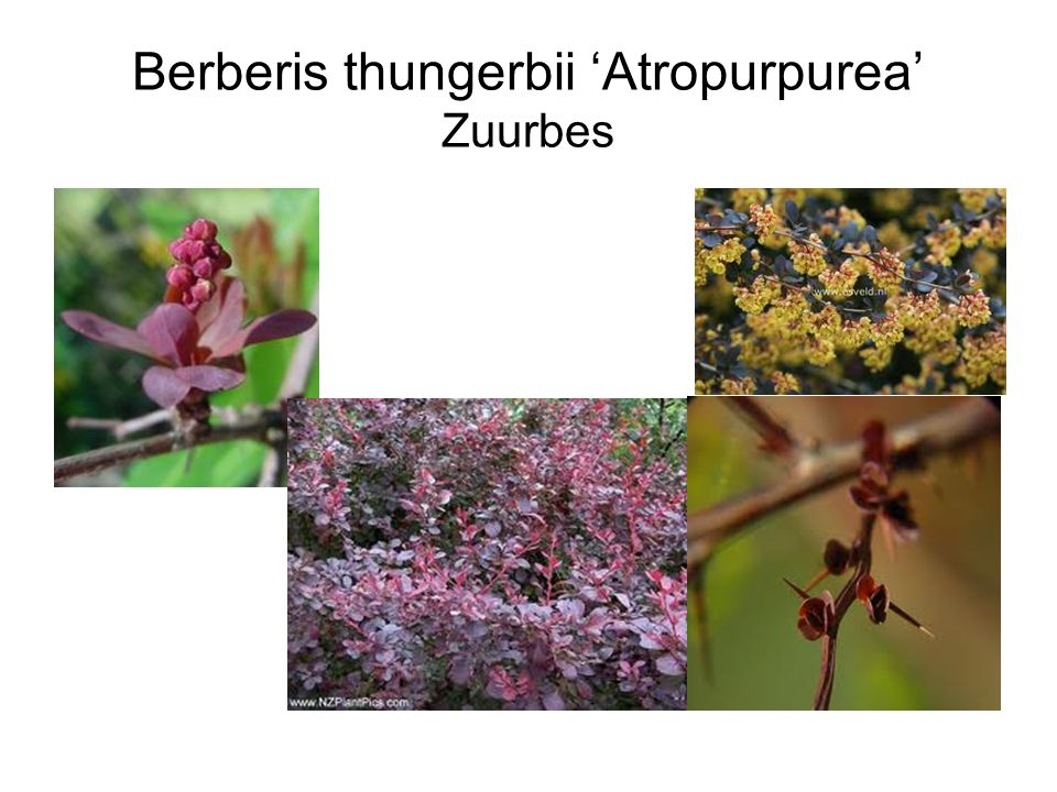 Berberis thungerbii 'Atropurpurea' Zuurbes