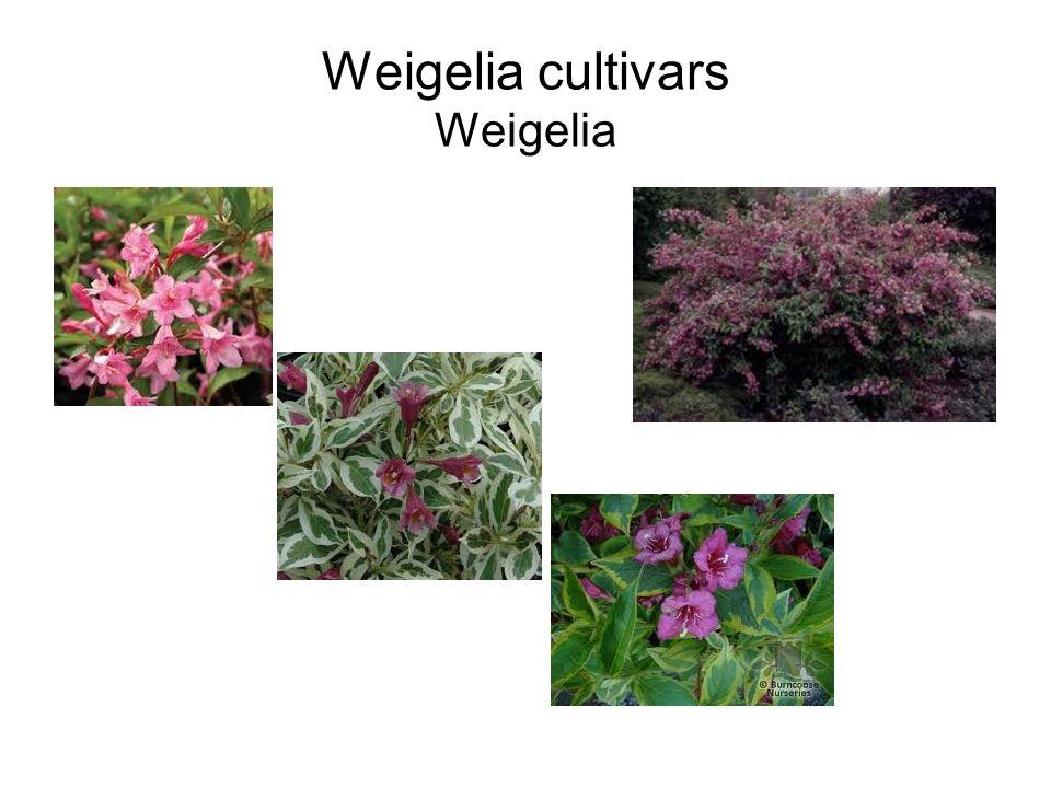 Weigelia cultivars Weigelia