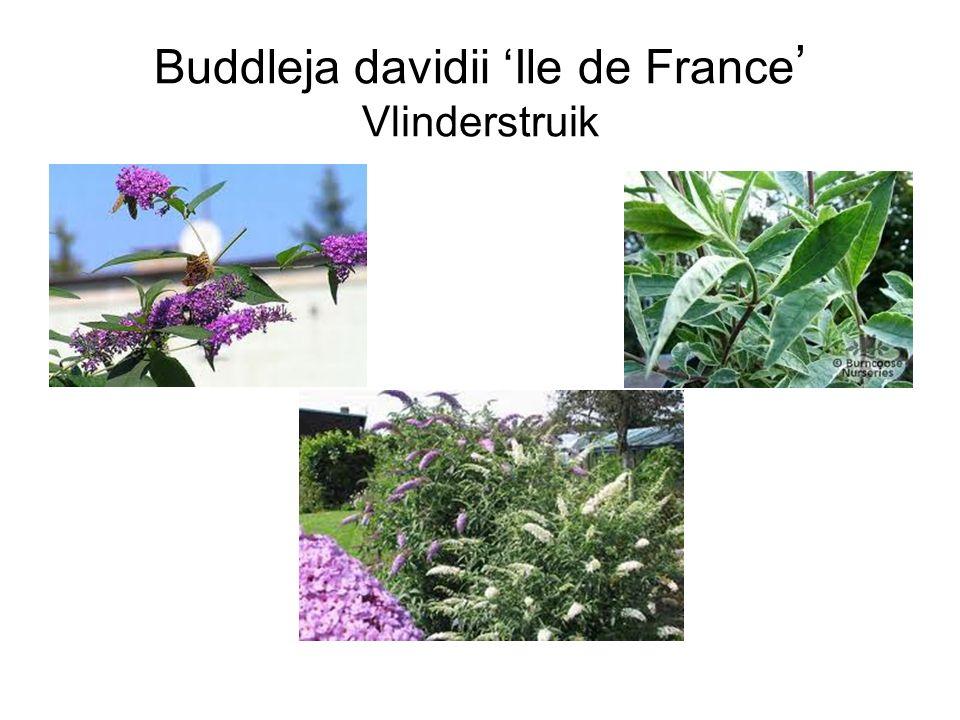 Buddleja davidii 'Ile de France ' Vlinderstruik