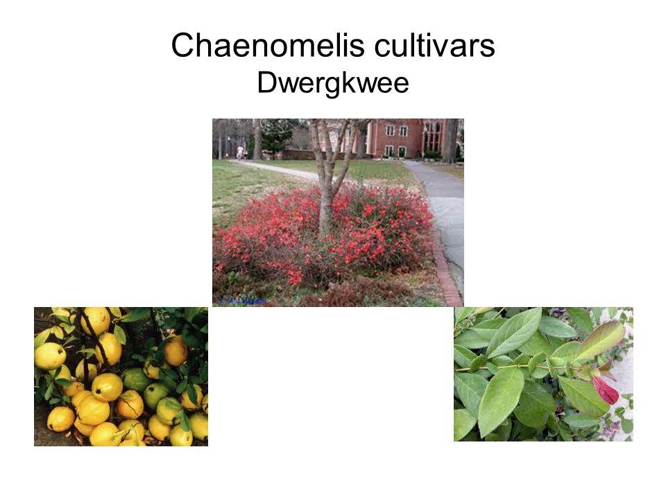 Chaenomelis cultivars Dwergkwee