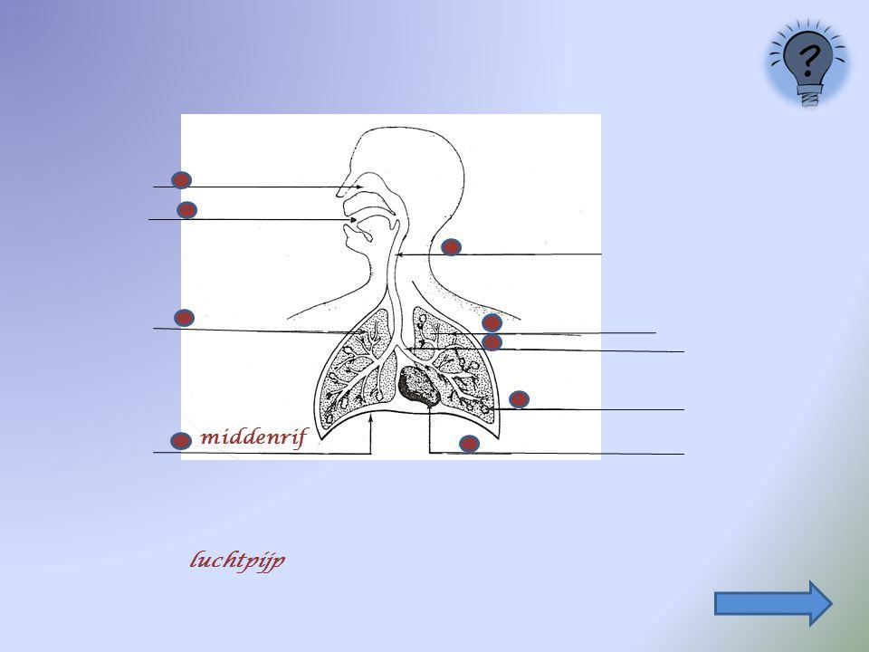 4. De delen van het ademhalingsstelsel : Klik, op de volgende dia's, het juiste bolletje aan middenrif