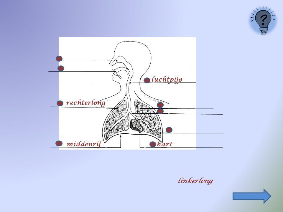 rechterlong middenrif luchtpijp hart