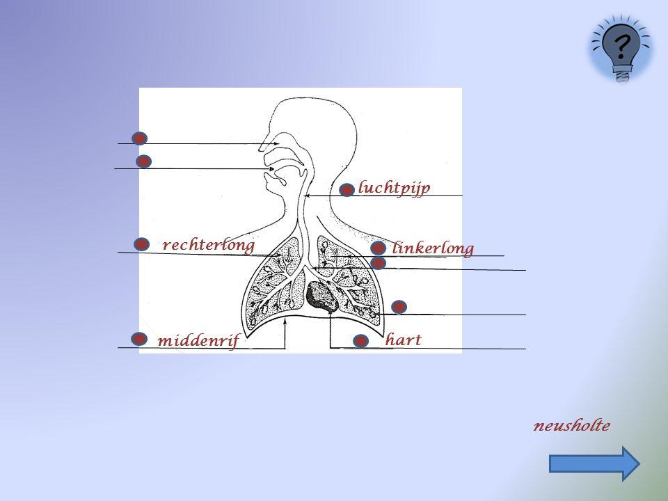 linkerlong middenrif luchtpijp hart rechterlong