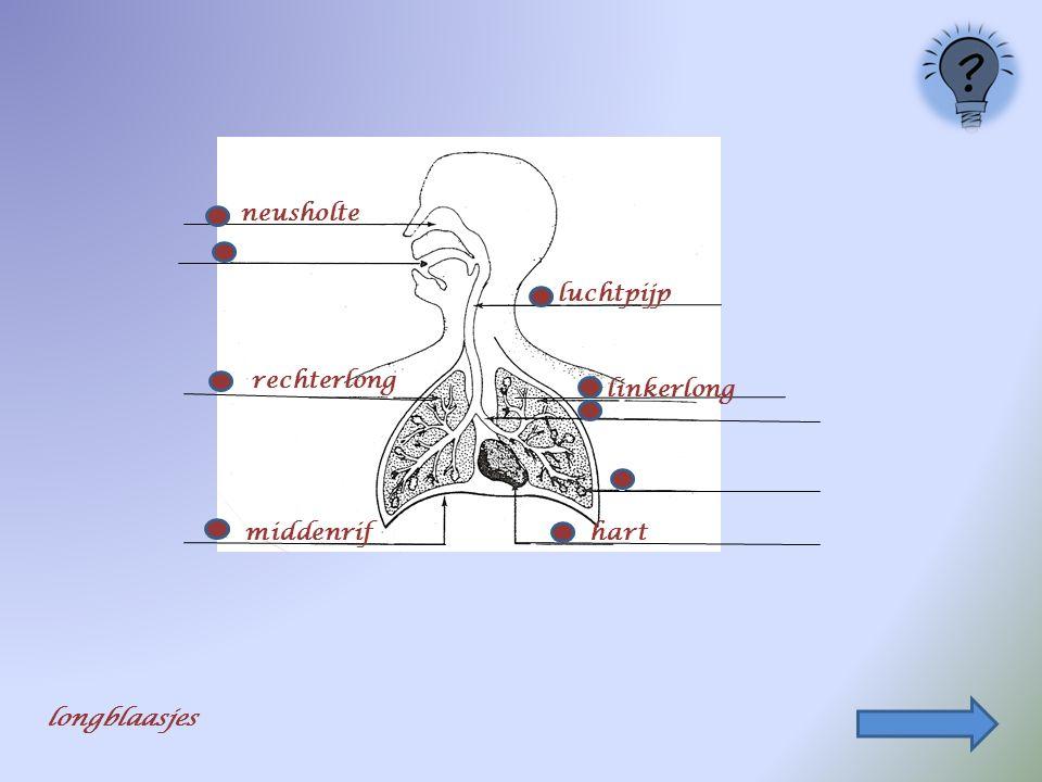 neusholte middenrif luchtpijp hart rechterlong linkerlong