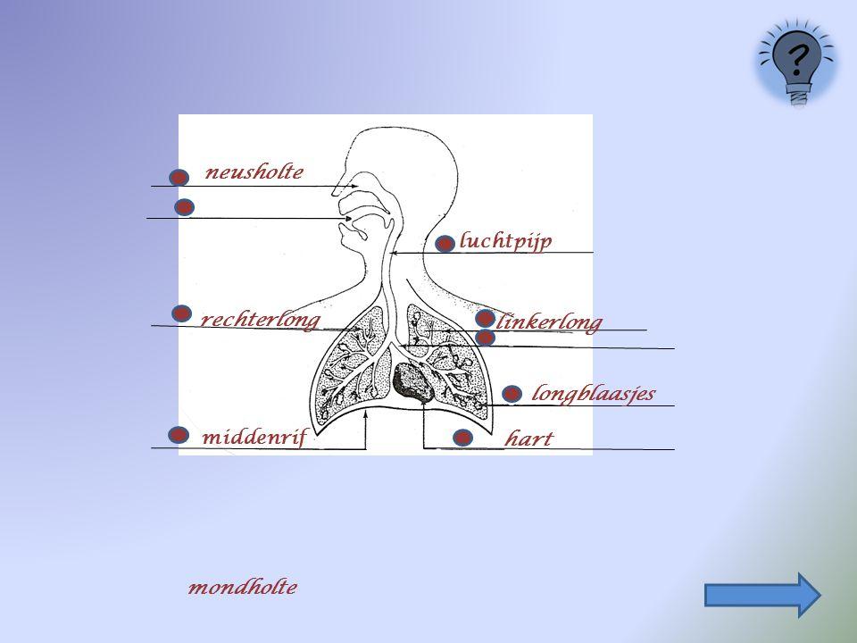 longblaasjes middenrif luchtpijp neusholte rechterlong linkerlong hart