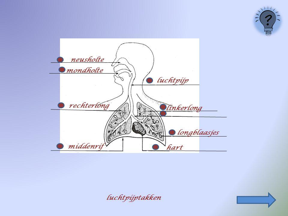 rechterlong linkerlong neusholte longblaasjes mondholte middenrif luchtpijp