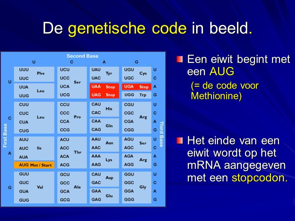 De genetische code in beeld. Een eiwit begint met een AUG (= de code voor Methionine) Het einde van een eiwit wordt op het mRNA aangegeven met een sto