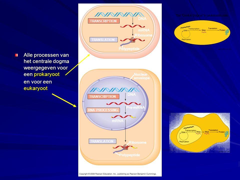De synthese van eiwitten op vrije en gebonden ribosomen.