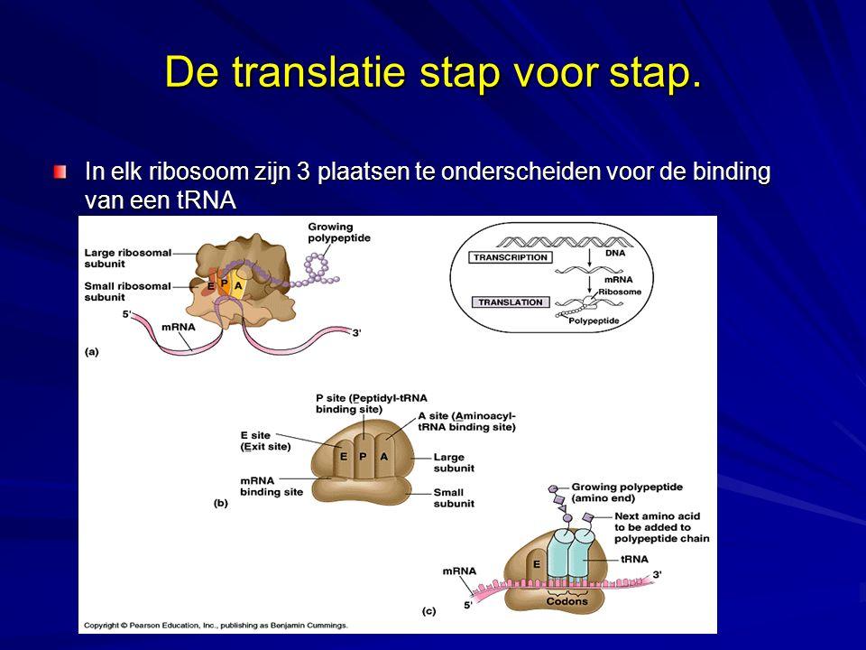 De translatie stap voor stap. In elk ribosoom zijn 3 plaatsen te onderscheiden voor de binding van een tRNA